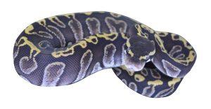 python-royal-albinos-male-2015