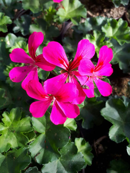 Fleurs variétés rares et originales à Saint-Mihiel et Chauvoncourt en Meuse