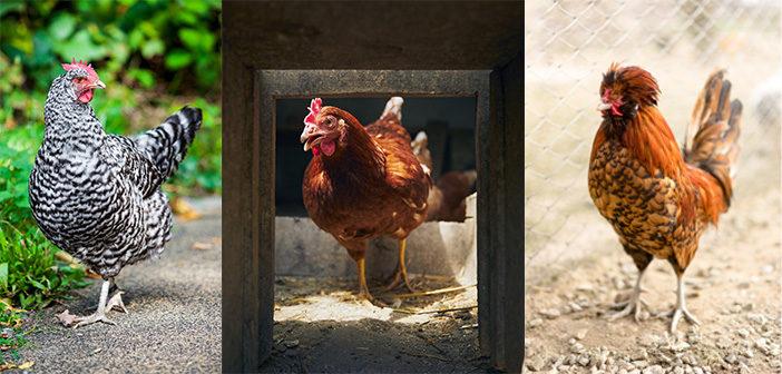 Poules pondeuses et poules d'ornement avec la Ferme Avicole de Chaumont-sur-Aire